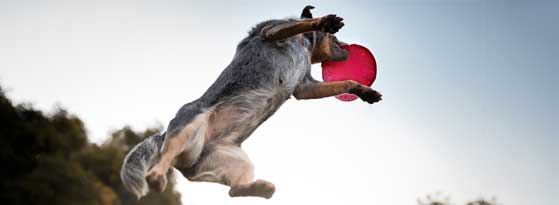 Dog jumping to catch a frisby